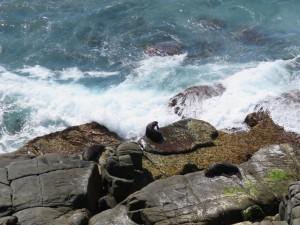 Küste mit Pelzrobben