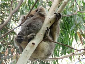 Koala -Mutter hält ihr Baby ganz fest