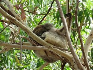 Koalas schlafen in jeder Lage und überall