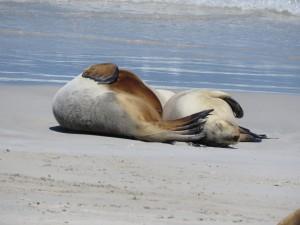 Seelöwen beim Mittagschlaf