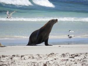 Ein Seelöwe kommt vom Meer