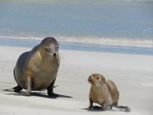 Zwei junge Seelöwen