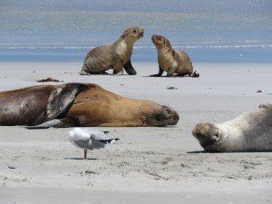 Schlafende und aktive Seelöwen